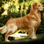 Golden Retriever - esta raça de cachorro é amigável e muito inteligente, de origem britânica.