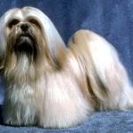 Lhasa Apso - o temperamento do lhasa apso é bom, porém é um cão muito temperamental.