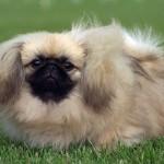 Pequinês - o pequinês é um cão de comportamento caracterizado pelo ciúme e teimosia.