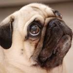 Pug - são cachorros companheiros, dóceis e alertas.