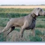 Weimaraner - um cão versátil, inteligente, dócil e brincalhão. Saiba mais sobre esta interessante raça canina.