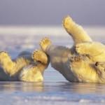 Ursos brincando descontraidamente. (Foto: divulgação)