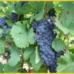 Farinha de uva: benefícios