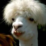 Camelo de peruca? (Foto: divulgação)