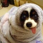 Cachorro depois do banho com a língua de fora. (Foto: divulgação)