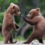 Ursinhos brincando. (Foto: divulgação)