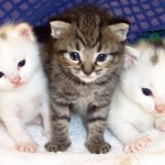 Os bigodes do gato servem para ele medir as distâncias e são um total de 24, agrupados de 4 em 4. (Foto: divulgação)