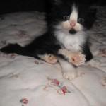 O ronronar do gato pode ser um sinal de medo ou de dor, além da típica associação a alegria e prazer. (Foto: divulgação)