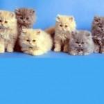 A audição dos gatos é muito mais sensível do que a nossa, porque os seus ouvidos afunilados servem como um megafone que canaliza e amplifica os sons. (Foto: divulgação)