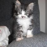 Só com cerca de duas semanas de vida é que os gatos já ouvem bem. Os olhos abrem por volta do sétimo dia. (Foto: divulgação)