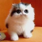 Os gatos são os mamíferos com os olhos maiores, proporcionalmente ao tamanho do corpo.  (Foto: divulgação)