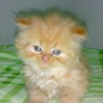 Os gatos têm apenas 30 dentes e os  dentes de leite são substituídos pelos permanentes, por volta dos 7 meses de idade. (Foto: divulgação)