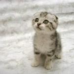O gato doméstico é o único capaz de andar com a cauda ereta. (Foto: divulgação)