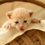 Os gatos domésticos detestam limões, laranjas ou qualquer outro alimento cítrico. Ofereça apenas alimentos gostosos ao seu filhote. (Foto: divulgação)