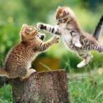 Cerca de 10% dos ossos do gatos está situada na cauda, de tal modo que o equilíbrio seja assegurado. (Foto: divulgação)