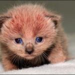 Os gatos com pelo rosado são encontrados apenas no Reino Unido. (Foto: divulgação)