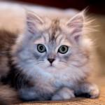 Ainda que alguns estudos defendam que os gatos sejam daltónicos, outros afirmam que os gatos conseguem distinguir nitidamente o amarelo, o verde e o azul. (Foto: divulgação)