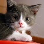 O QI dos gatos só é ultrapassado (no reino animal) pelo dos macacos e dos chimpanzés. (Foto: divulgação)