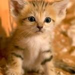 Apenas um em cada mil gatos cor-de-laranja é fêmea. (Foto: divulgação)
