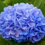 Hortência, flor muito usada na decoração azul.