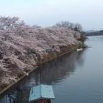 As árvores de cerejeira em flor são um dos cartões postais do Japão. (Foto: divulgação)