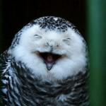Coruja cara branca rindo (Foto: divulgação)