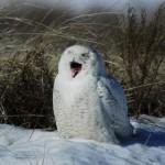 Coruja na neve (Foto: divulgação)