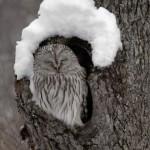 Coruja descansando na árvore (Foto: divulgação)