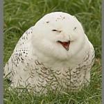 Coruja branca rindo na grama (Foto: divulgação)
