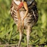 Coruja se alimentando (Foto: divulgação)