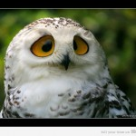 Coruja de olhos grandes e tristes (Foto: divulgação)