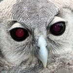 Coruja branca de olhos vermelhos (Foto: divulgação)