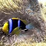 Anemona no mar em Angra dos Reis (Foto: divulgação)