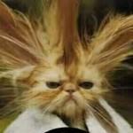 Gato Chinês (Foto: divulgação)