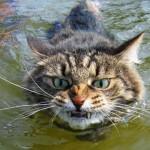 Gato nadador (Foto: divulgação)