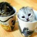 Gatinhos na xícara (Foto: divulgação)