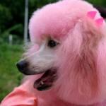 Poodle pintado de rosa. (Foto:Divulgação)