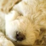 Filhote de poodle dormindo. (Foto:Divulgação)