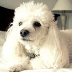 Pequeno e comportado, o poodle é um cão perfeito para apartamento. (Foto:Divulgação)