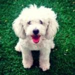 É um cão alegre, divertido e muito harmonioso. (Foto:Divulgação)