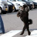 O poodle é inteligente e aprende os comandos com rapidez. (Foto:Divulgação)