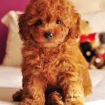 Filhote de poodle na cor marrom. (Foto:Divulgação)