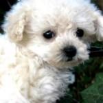 Poodle filhote. (Foto:Divulgação)