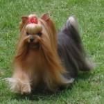 Depois do banho, os donos costumam caprichar no visual do seu cãozinho yorkshire(Foto: Divulgação)