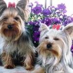 Os Yorkshires são os cães miniatura mais populares do mundo. (Foto: Divulgação)