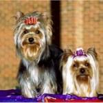 No século XIX, os yorkshires eram usados como cães de caça em tocas. (Foto: Divulgação)
