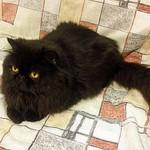 Os gatos persas tiveram origem na antiga Pérsia (atual Irã). (Foto: Divulgação)