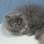 É possível encontrar gatos persas de cores bem variadas. (Foto: Divulgação)