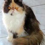 Em média, o gato persa adulto mede 25 cm de altura e 40 cm de comprimento. (Foto: Divulgação)