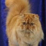 Os gatos persas chamam bastante atenção pela sua beleza e apego aos donos. (Foto: Divulgação)